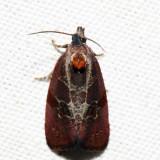 2866 – Spirea Leaftier – Evora hemidesma