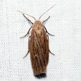 8045.1 – Pale Lichen Moth – Crambidia pallida