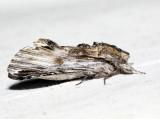 8017 – White-streaked Prominent – Oligocentria lignicolor