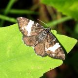 Rheumaptera hastata or subhastata