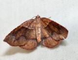 6836 – American Barred Umber – Plagodis pulveraria