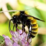 Northern Amber Bumble Bee - Bombus borealis