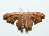 7653 - Brown Scoopwing - Calledapteryx dryopterata