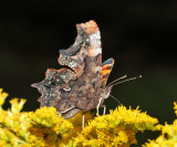 Green Comma - Polygonia faunus