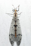 Dendroleon obsoletus