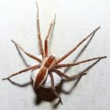 Nursery Web Spider - Pisaurina mira (carrying egg sack)
