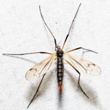 Limnophila rufibasis