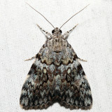 8878.1 – Little Lined Underwing – Catocala lineella