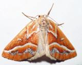 6867 - Brown Pine Looper - Caripeta angustiorata