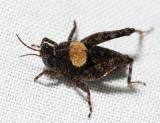 Nomotettix parvus