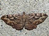 7290 - Barberry Geometer - Coryphista meadii
