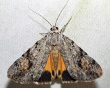 8878 – Girlfriend Underwing – Catocala amica
