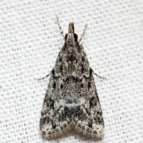 4719 – Many-spotted Scoparia – Scoparia basalis