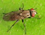 Leucophora johnsoni