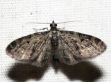 7491 - Eupithecia fletcherata (f)