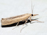 5413 – Sod Webworm – Pediasia trisecta
