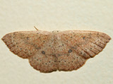7136 - Packard's Wave - Cyclophora packardi