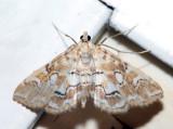 4748 - Pondside Pyralid - Elophila icciusalis