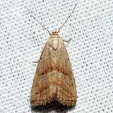 8422 - Hypenodes palustris