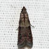 6001 – Ephestiodes infimella