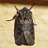10397 - Bristly Cutworm - Lacinipolia renigera