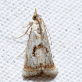 5420 - Elegant Grass-veneer - Microcrambus elegans
