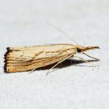 5399 – Lesser Vagabond Sod Webworm – Agriphila ruricolellus