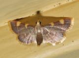5533 - Yellow-fringed Dolichomis - Hypsopygia olinalis