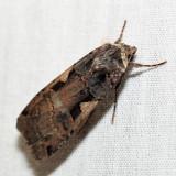 10942.1 – Greater Black-letter Dart Moth – Xestia dolosa