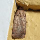 10915 – Variegated Cutworm Moth – Peridroma saucia