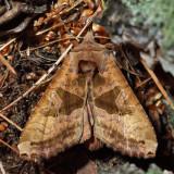9547 – Brown Angle Shades – Phlogophora periculosa