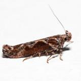 1986 – Goldenrod Gall Moth – Gnorimoschema gallaesolidaginis