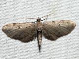 7586.1 - Wormwood Pug - Eupithecia absinthiata (m)