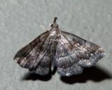 8364 - Black-banded Owlet - Phalaenostola larentioides