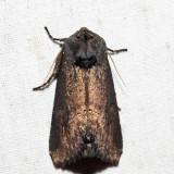 9452 – Iris Borer – Macronoctua onusta