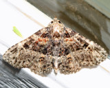 8499 - Common Fungus Moth - Metalectra discalis