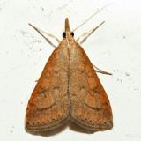 5079 – Celery Leaftier – Udea rubigalis