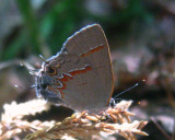 Red-banded Hairstreak - Calycopis cecrops