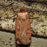 11006 – Brown-collared Dart – Protolampra brunneicollis