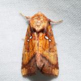 9479 – Loosestrife Borer – Papaipema lysimachiae
