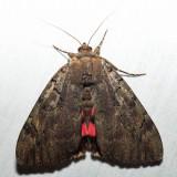 8832 – Darling Underwing – Catocala cara