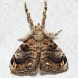 8314 – Definite Tussock Moth – Orgyia definita