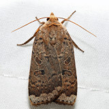 11029 – Greater Red Dart – Abagrotis alternata