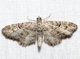 7551 - Juniper Looper - Eupithecia interruptofasciata (m)