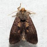 0367 - Tubeworm Moth - Acrolophus morus