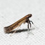 0630 – Sumac Leafblotch Miner – Caloptilia rhoifoliella