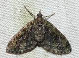 7635 – Olive-and-black Carpet – Acasis viridata