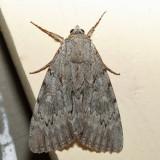 8778 – Habilis Underwing – Catocala habilis