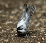 Black-capped Chickadee - Poecile atricapillus (luecistic)