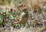 American Pipit - Anthus rubescens